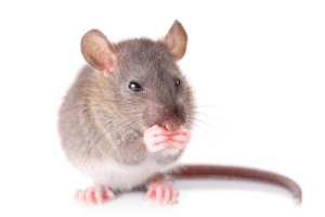 Specialists in Mice Control