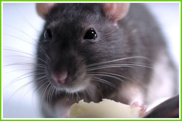 We offer wildlife and rodent control services